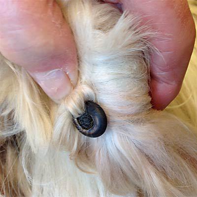 klipning af hundenegle